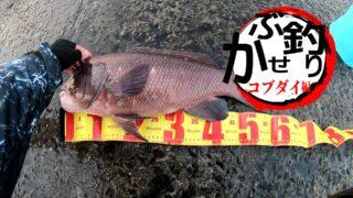 コブダイ釣り(かぶせ・エビ釣り)